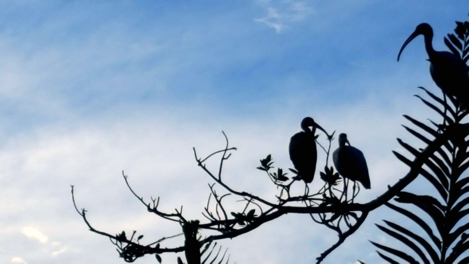 Ibis in a Tree