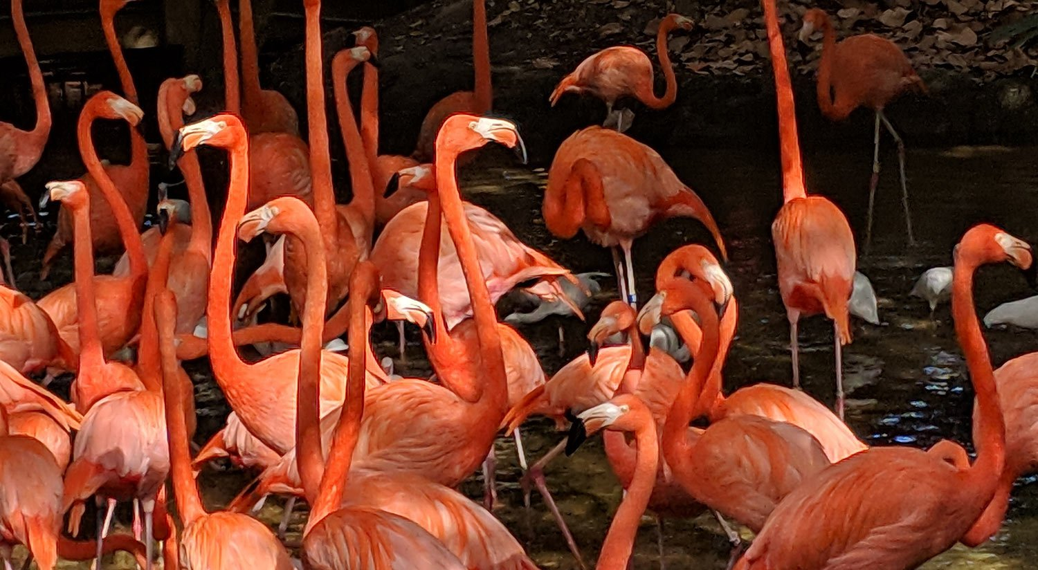 Jungle Island Flamingos